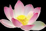 Lotus cc